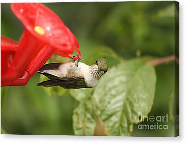 Can I Help You Hummingbird  Canvas Print by Cathy  Beharriell