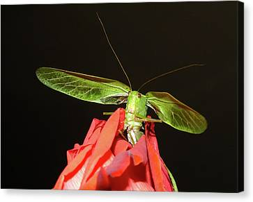 Grasshopper Canvas Print - Can You Hear Me Now By Karen Wiles by Karen Wiles