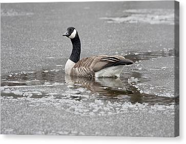 Canada Goose In An Icy Pond. Canvas Print by Steven Ralser