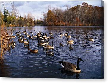 Canada Geese Branta Canadensis Canvas Print by Panoramic Images