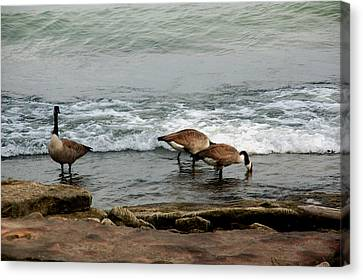 Canvas Print featuring the photograph Canada Geese Feeding by Kathleen Stephens