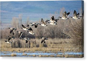 Canada  Geese Flock Canvas Print by Mike Dawson