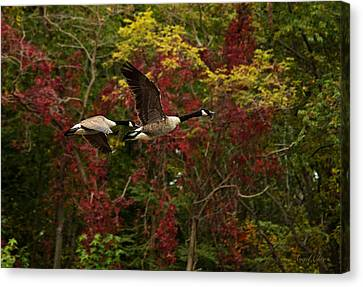 Canada Geese In Autumn Canvas Print by Angel Cher