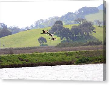 Canada Geese In Flight Canvas Print by Wingsdomain Art and Photography