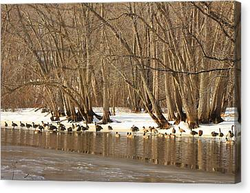 Canada Geese On Concord River Canvas Print by John Burk
