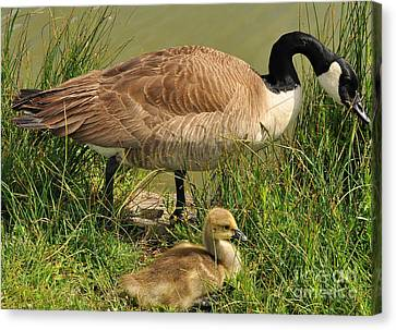 Canada Geese Parent And Child  Canvas Print by Merrimon Crawford