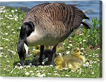 Canada Goose And Goslings Canvas Print by Gill Billington