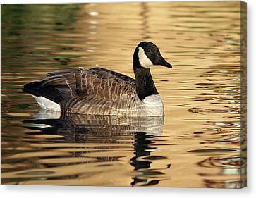 Canada Goose At Sunset Canvas Print by Gill Billington