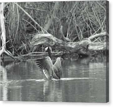 Geese Canvas Print - Canada Goose by Dan Sproul