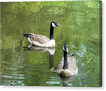 Canada Goose Duo Canvas Print by Al Powell Photography USA