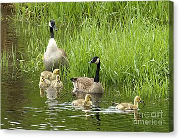 Geese Canvas Print - Canada Goose Family 1 by Sharon Talson