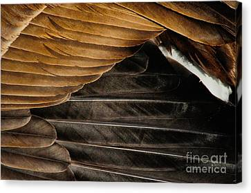 Canada Goose Feathers Canvas Print by Merrimon Crawford