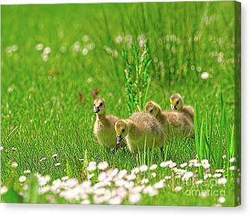 Canvas Print featuring the photograph Canada Goose Goslings In A Field Of Daisies by Sharon Talson