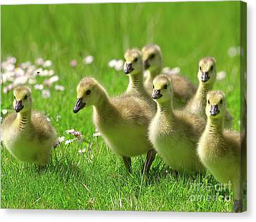 Canvas Print featuring the photograph Canada Goose Goslings by Sharon Talson