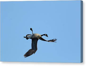 Canada Goose Canvas Print by Marty Timmerman