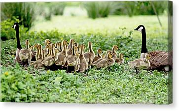 Mother Goose Canvas Print - Canada Gosling Daycare by Rona Black