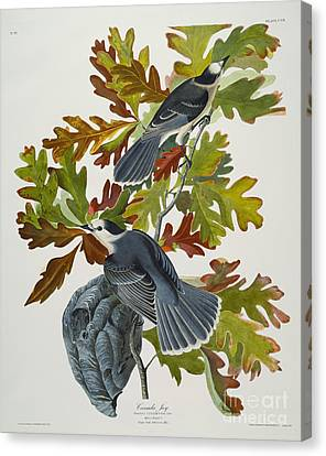Oak Canvas Print - Canada Jay by John James Audubon