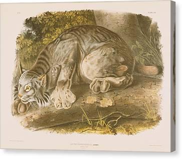Canada Lynx Canvas Print by John James Audubon