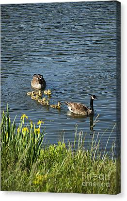 Canadian Geese And Goslings Canvas Print by John Greim