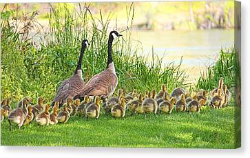 Canadian Geese Family Canvas Print by Jennie Marie Schell