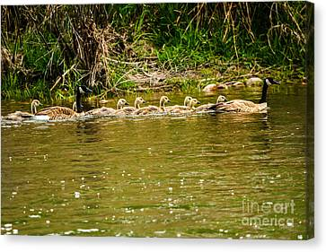 Canadian Geese Family Canvas Print