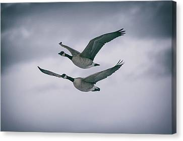Canadian Geese In Flight Canvas Print by Jason Coward