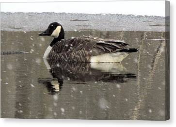 Canadian Goose In Michigan Canvas Print