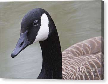 Canadian Goose Canvas Print by Twenty Two North Photography