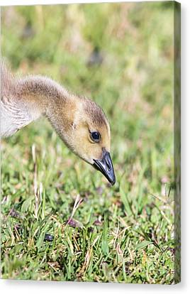 Canadian Gosling Canvas Print by Robert Frederick