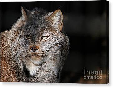 Canadian Lynx  20130107_57 Canvas Print