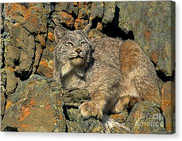 Canvas Print featuring the photograph Canadian Lynx On Lichen-covered Cliff Endangered Species by Dave Welling