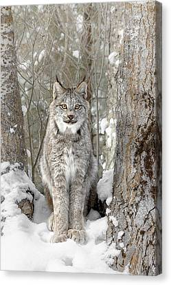 Canadian Wilderness Lynx Canvas Print by Wes and Dotty Weber