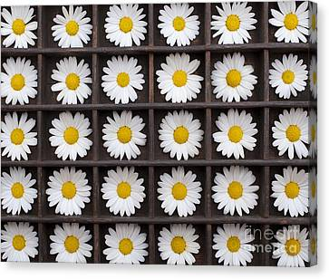 Canary Marguerite Flowers Canvas Print by Tim Gainey
