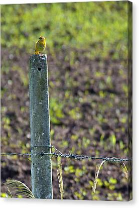 Canary Stop Canvas Print