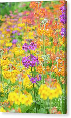 Candelabra Primula Flowers Canvas Print by Tim Gainey