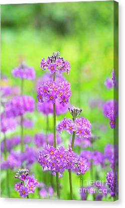Candelabra Primula Canvas Print by Tim Gainey