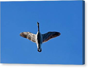 Canvas Print featuring the photograph Candian Goose In Flight 1648 by Michael Peychich