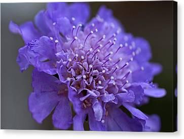 Butterfly Blue Pincushion Flower Canvas Print - Candid by Michiale Schneider