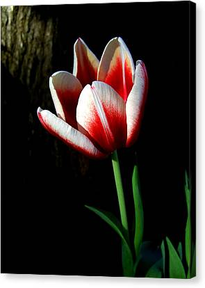 Candy Cane Tulip Canvas Print