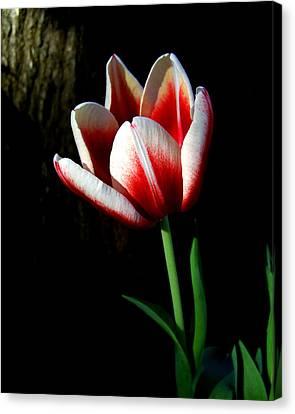 Candy Cane Tulip Canvas Print by Peg Urban