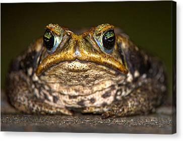 Cane Toad Rhinella Marina, Pantanal Canvas Print by Panoramic Images
