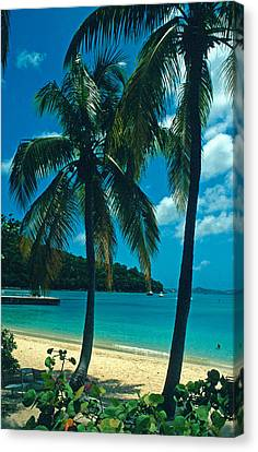 Caneel Bay Palms Canvas Print by Kathy Yates