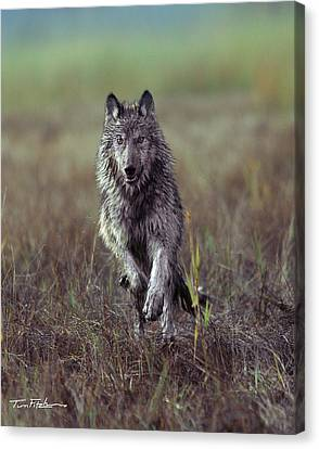 Canis Lupus Canvas Print by Tim Fitzharris