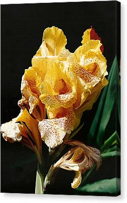 Canna Lily Canvas Print by Marilyn Wilson