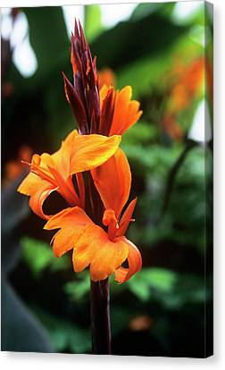 Canna Lily 'roi Humbert' Canvas Print by Adrian Thomas