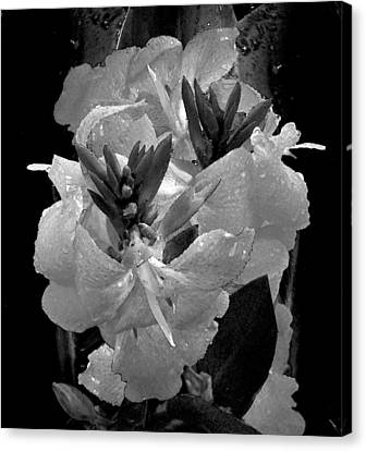 Canna Lily With Rain In Black And White Canvas Print by Michele Avanti