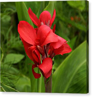 Canna Canvas Print by Sandy Keeton