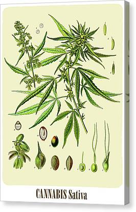 Cannabis Canvas Print by Unknown