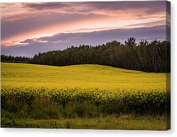 Canvas Print featuring the photograph Canola Crop Sunset by Darcy Michaelchuk