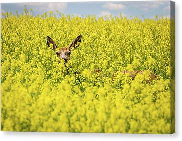 Tracy Munson Canvas Print - Canola Deer by Tracy Munson